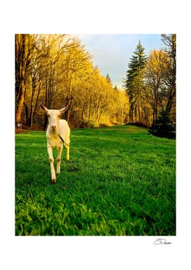 Getcher Goat