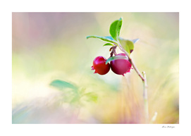 Macro shot of cowberry in forest