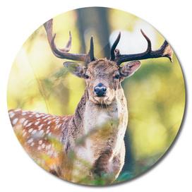 Fallow deer buck in autumn forest