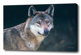 Wolf in dark forest