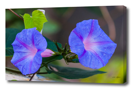 Morning glory flowers in the garden