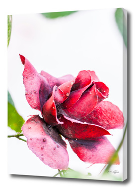 Old red rose