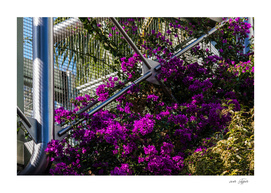 Purple climbing flowers and modern architecture