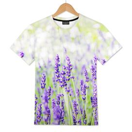 Field of Lavender 01