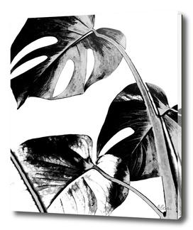 Black Monstera Leaves