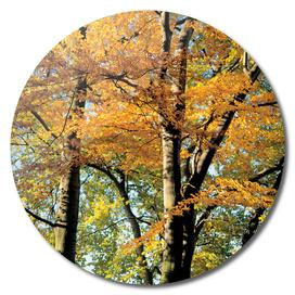 Autumn Blaze Mapple