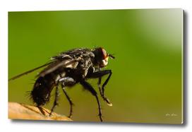 Fly (Musca Domestica) Macro On Leaf