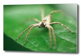 Nursery Web Spider Sitting On Green Leaf In Garden