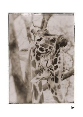 Vintage fauna: Giraffes