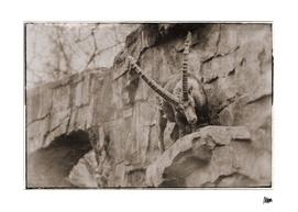 Vintage fauna: Ibex