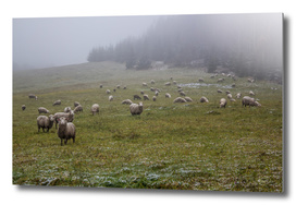 Sheeps and first snow in the field