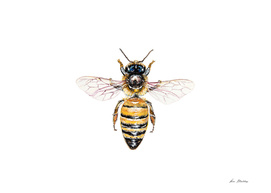 Apis mellifera, the banded muse