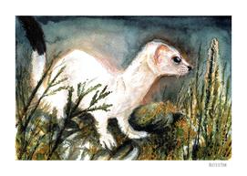 Winter stoat