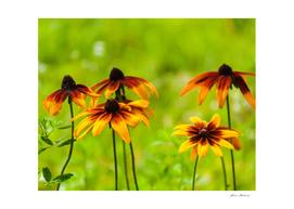 Yellow Garden Flowers Echinacea closeup
