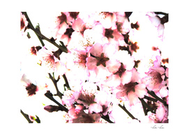 Sakura V