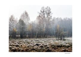 Autumn birch forest in fog
