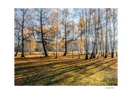 Sun rays in the autumn birch forest