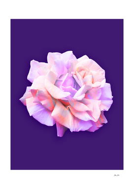 Love Rose on Ultra Violet