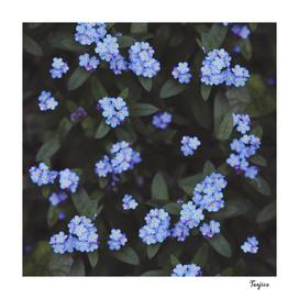 Forget-me-nots dark garden