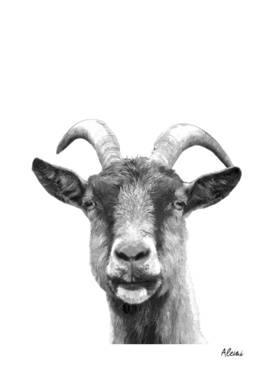 Black and White Goat
