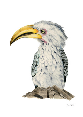 Yellow-Billed Hornbill Watercolor Painting