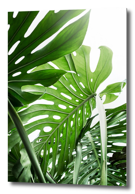 Monstera Jungle
