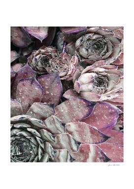 Succulent Close-up In Pink
