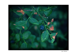 Blueberry 3