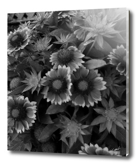 DAISIES IN BLACK AND WHITE