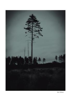 Pine tree 6