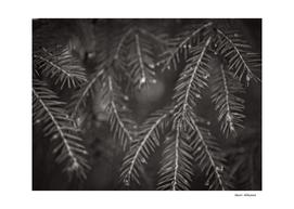 Spruce Needle 5