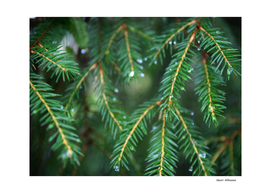 Spruce Needle 6
