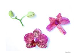 Orchid Life Cycle