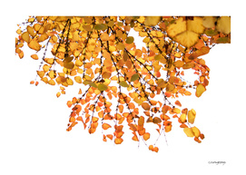 Orange-yellow leaves