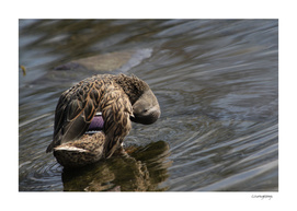 Duck Sees You
