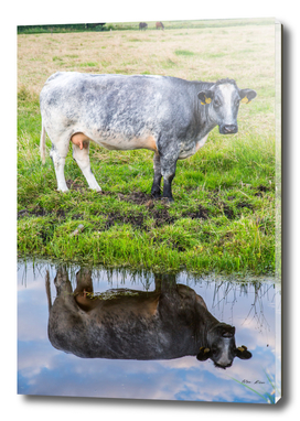 Cattle in reflection
