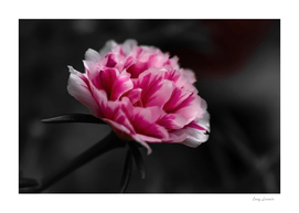 Pink [1]