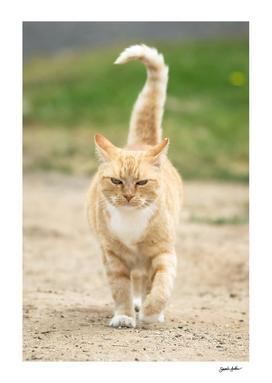 Ginger cat walking