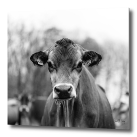 Portait of a Dairy Cow