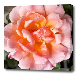 rose in autumn