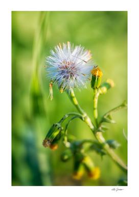 Tiny Dandelion