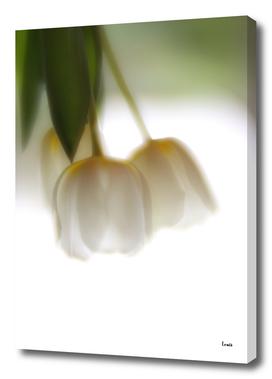 tulip - nofilter