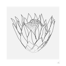Protea Flower Print (Sugarbushes)