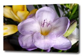 open violet freesia