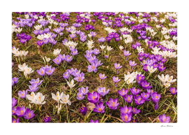Glade of beautiful flowers crocuses