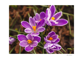 Beautiful ultra violet crocuses on a spring sunny day