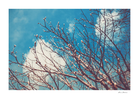 Spring Trees Buds Sunny Day Blue Sky