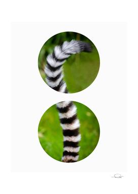 Circled Lemur Tail