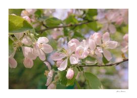 Spring Apple Tree White Pink Flowers Sunlight Retro
