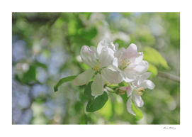 Spring, Apple blossoms, White, Pink Flowers sunlight
